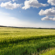 Green wheat on the field — Stock Photo #25703055