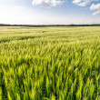 Green wheat on the field — Stock Photo #25703065