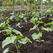 Cucumber seedlings — Stock Photo