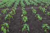 Vegetable garden — Stockfoto