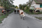 Cows returning from the pasture — Foto Stock