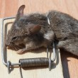 Stock Photo: Dead mouse in mousetrap