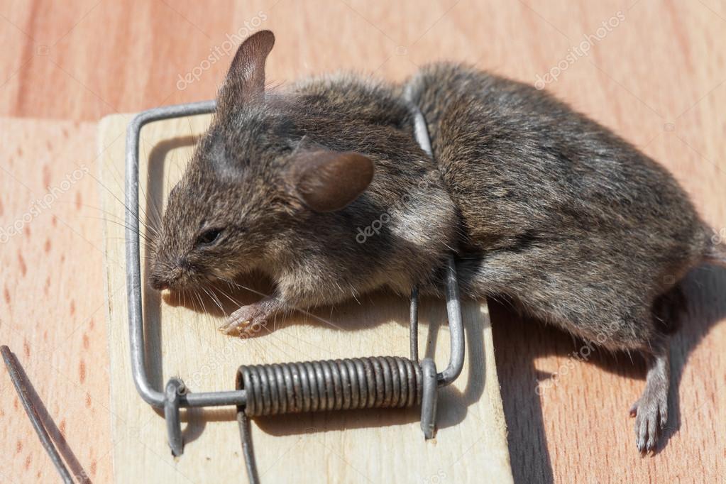Rato morto em uma ratoeira fotografias de stock - Trampas para ratas grandes ...