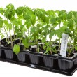 Tomato seedling — Stock Photo #36053691
