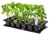 Tomato seedling — Stock Photo