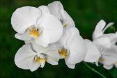 Orquídea blanca — Foto de Stock