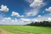 Alfalfa field — Stock Photo