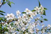 Spring blossom against blue sky — Foto Stock