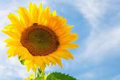 Sunflowers against blue sky — Stock Photo