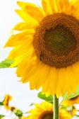 Close-up of sunflower — Stock Photo
