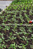Young tomato plants — Foto Stock