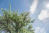 Spring blossom against blue sky — Stock Photo
