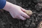 Planting potato tubers into soil — Stock Photo