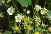 Unripe berries strawberrie — Stock Photo