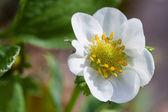 Flower of strawberry — Stock Photo