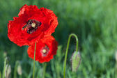 Red poppies on a meadow — Stock Photo