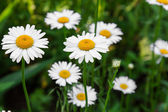Chamomile flowers close up — Stock Photo