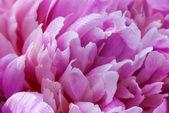 Pink petals peony flower — Φωτογραφία Αρχείου