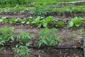 Drip irrigation system — Stock Photo