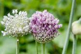 Onion flower stalks — Stock Photo