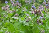 Borage officinalis Rare Blue Flower — Stock Photo