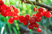 Berries of a red currant — Stock Photo