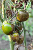 Diseased tomatoes — Stock Photo
