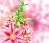 Roze lelies — Stockfoto