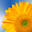 Close up of sunflower — Stock Photo #12402701