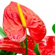 Red anthurium flower — Stock Photo