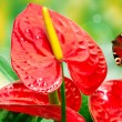 Red anthurium flower - Stock Photo