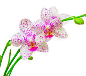 Orchid flower — Stockfoto