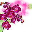 Orchid flower — Stock Photo #19262727