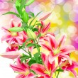 Pink lilies — Stock Photo #19262795