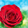 Close up of rose flower — Stock Photo