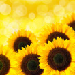 Close up of sunflower — Stock Photo