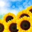 Close up of sunflower — Stock Photo #19592085