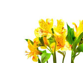 Alstroemeria lily flowers isolated on white background — Stock Photo