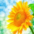 Close up of sunflower — Stock Photo #20666543