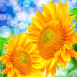 Close up of sunflower — Stock Photo #20666547