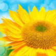 Stock Photo: Close up of sunflower