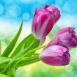 Tulip flowers close up — Stock Photo