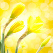Daffodil flower - Stock Photo