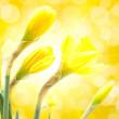 Daffodil flower — Stock Photo #21686093