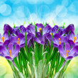 Purple flower crocus close up — Stock Photo
