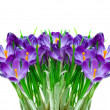 Purple crocus flower — Stock Photo