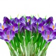 Purple crocus flower - Stock Photo