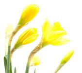 Fleur jonquille — Photo