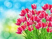 Fleurs tulip bouchent — Photo