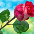 rose flower — Stockfoto #26367697